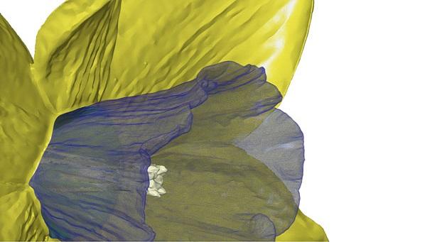 Daffodil Polygon Mesh