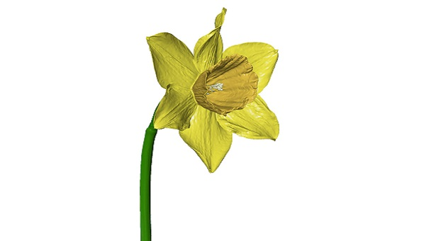 Daffodil 3D polygon mesh